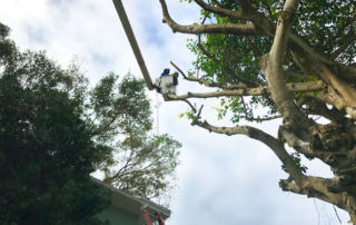 birch tree trimming Fort Lauderdale