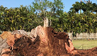 Stump Grinding and Removal Cooper City
